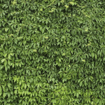 How to Get Rid of Ivy