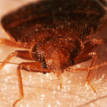 How to Get Rid of Bed Bugs by Yourself