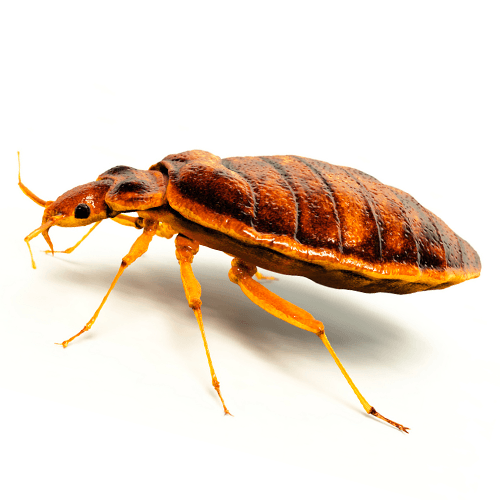 how-to-get-rid-of-bed-bugs.png