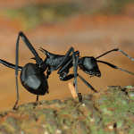 How to Get Rid of Black Ants