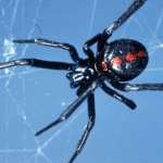 How to Get Rid of Black Widow Spiders