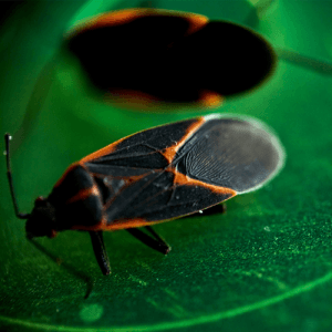 How to Get Rid of Box Elder Bugs