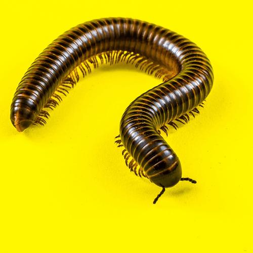 How Do I Get Rid Of Centipedes Naturally