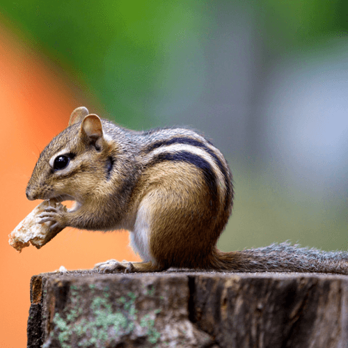 How to get rid of chipmunks how to get rid of stuff how to get rid of chipmunks ccuart Image collections