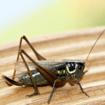 How to Get Rid of Crickets in the House