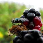 How To Get Rid Of Fruit Flies Naturally