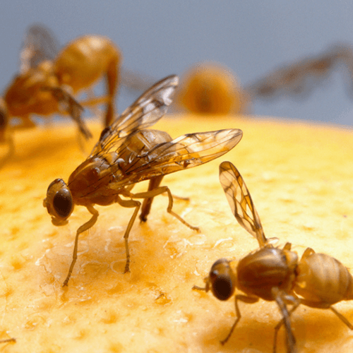 how to get rid of fruit flies how to get rid of stuff