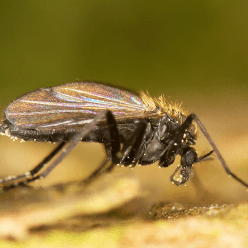 how-to-get-rid-of-gnats-in-your-home.png