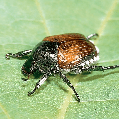 How To Get Rid Of Anese Beetles