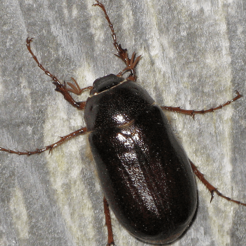 black june beetle. Black Bedroom Furniture Sets. Home Design Ideas