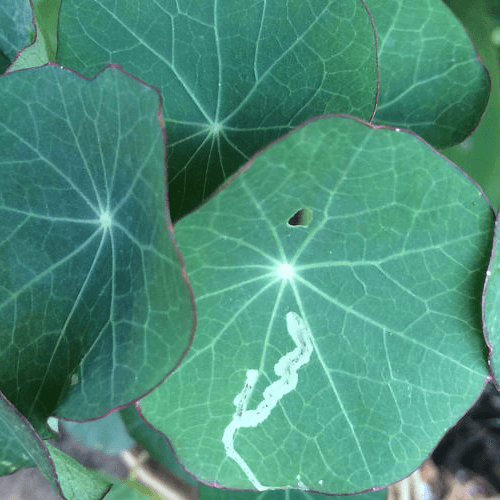 How to Get Rid of Leaf Miners