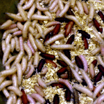 how to get rid of maggots outside the house