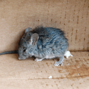 how-to-get-rid-of-mice.png
