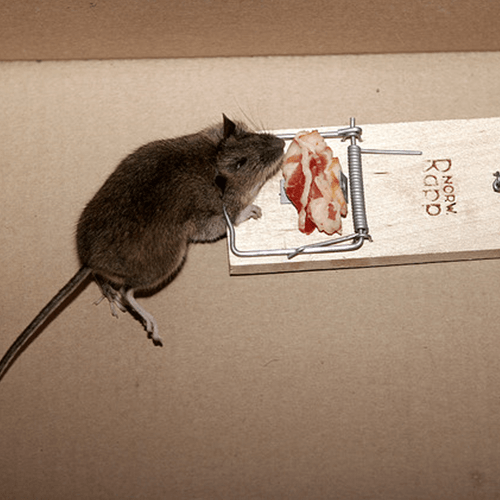 How to get rid of mice at home how to get rid of stuff how to get rid of mice at home ccuart Gallery