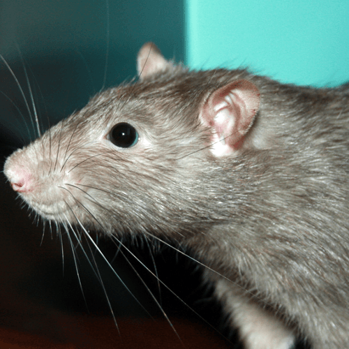 How To Get Rid Of Rats How To Get Rid Of Stuff