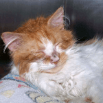 How to Get Rid of Ringworm in Cats