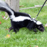 How to Get Rid of Skunk Smell On Car