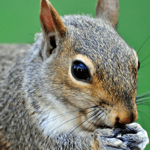 How To Get Rid Of Squirrels How To Get Rid Of Stuff