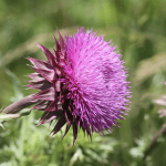 How to Get Rid of Thistle