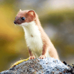 How to Get Rid of Weasels