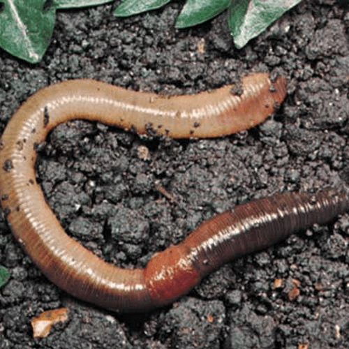 Worms How To Get Rid Of Stuff