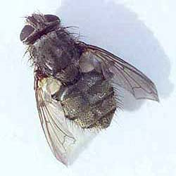 how to get rid of cluster flies how to get rid of stuff
