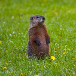 how to get rid of groundhogs under house