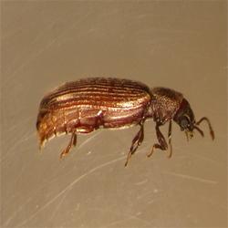 how to get rid of wood beetles