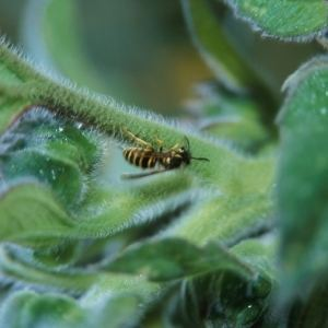 EXTERMINATE YELLOW JACKETS - Getting Rid Of Pests